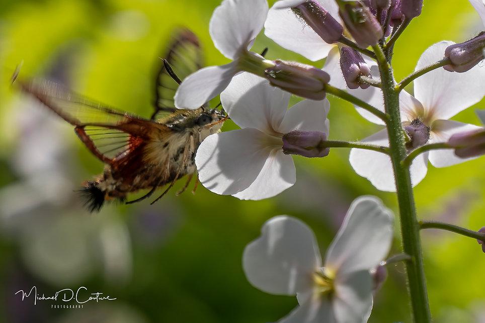 Hummingbird Moth 2.jpg