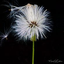 Dandelion seed release