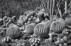 desert flower 4.jpg