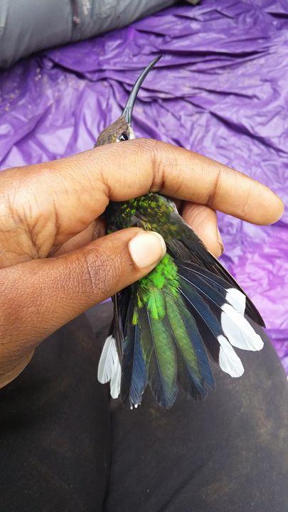 Female Violet Sabrewing