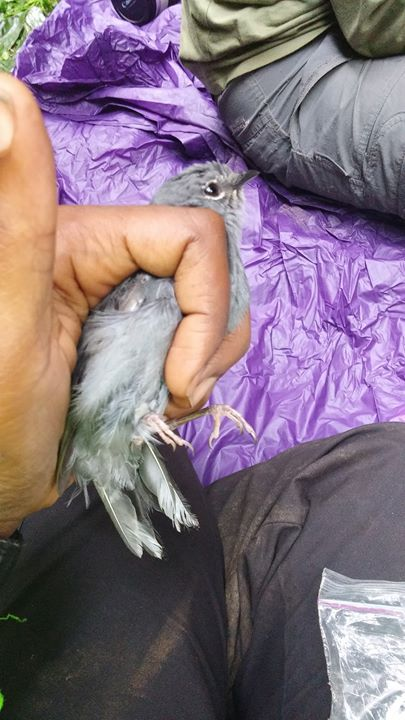 Slate-colored Solitaire!