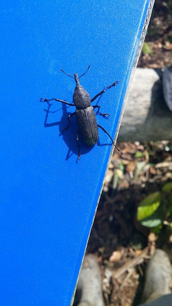 Wittle weevil