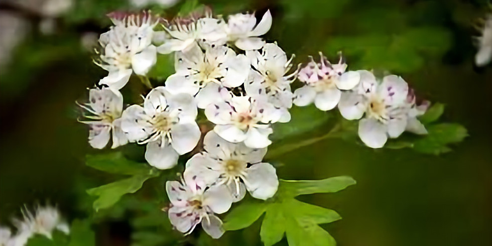 Hawthorn Plant Study
