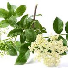 Elderflower Plant Study