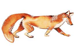Fox a Day