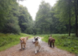 Three dogs walking in the woods
