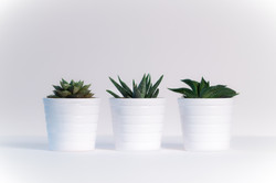 three-green-assorted-plants-in-white-cer