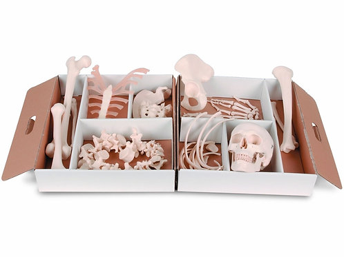 Meio Esqueleto Desarticulado - A04/1 - 3B Scientific