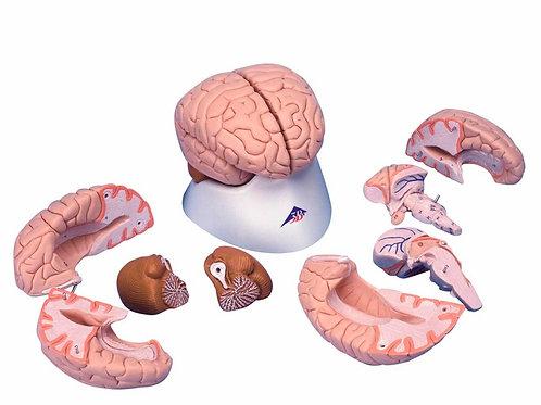 Cérebro 8 Partes - C17 - 3B Scientific