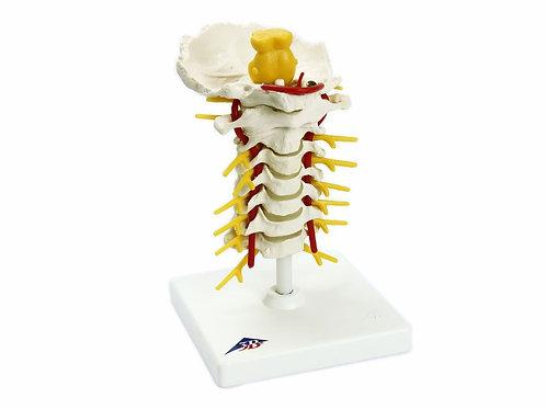 Coluna Vertebral Cervical - A72 - 3B Scientific