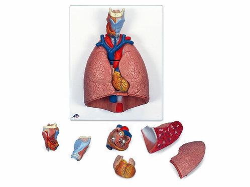 Pulmão - em 7 Partes - G15 - 3B Scientific