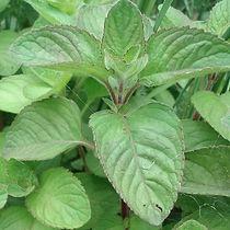 mentha-aquatica-menthe-aquatique-plante.