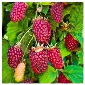 Tayberry mûroise.jpg
