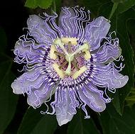 fleur passiflore incarnata.jpg