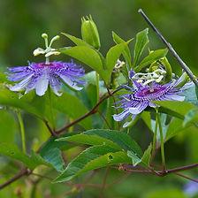 Passiflora-incarnata.jpg