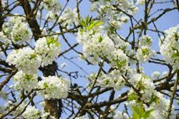 Avium prunus à fleurs.jpg