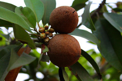 Chikoo (or Sapota) tree