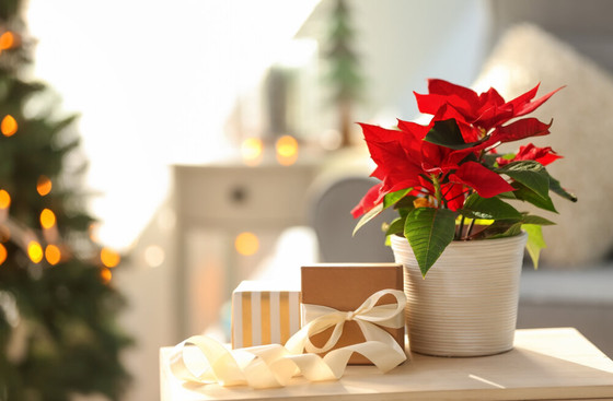 How to Care for Holiday Houseplants