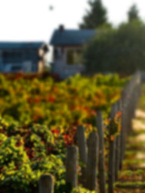 Vinyard5-Copy_edited.jpg
