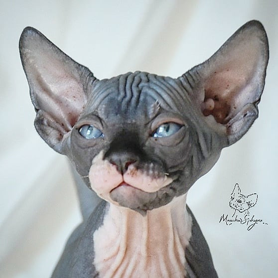 MeadowSphynx Just A Trim Javeed 5 weeks