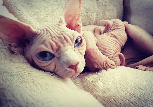 #whitecat #sphynx #sphynxcat #sphynxlair