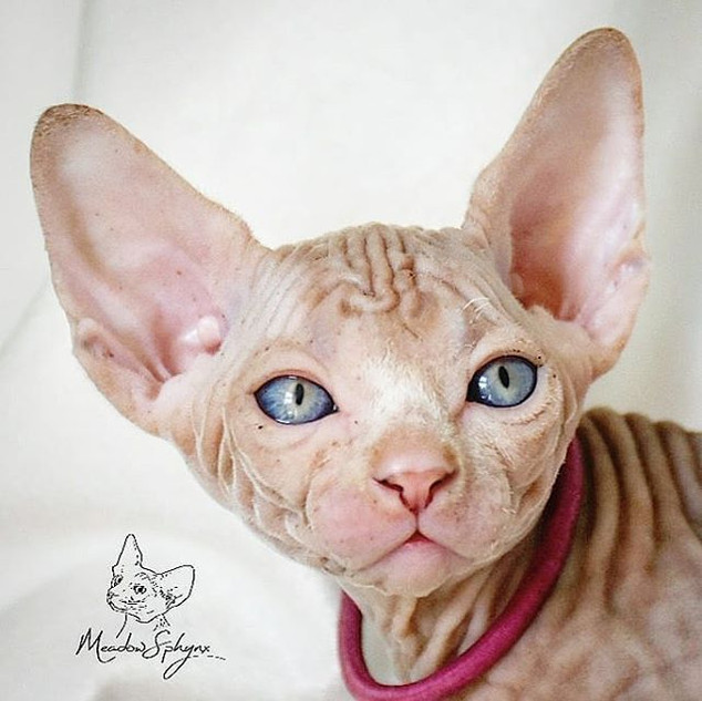 MeadowSphynx Juno My Princess 5 weeks ol