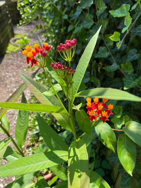 Mexican Butterfly Weed.jpg