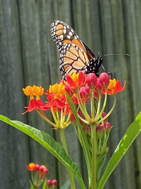 Monarch butterfly on Mexican Butterfly Weed