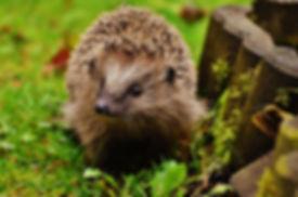 hedgehog-child-1759029_960_720.jpg