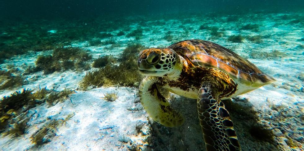 Une tortue à Petite Terre
