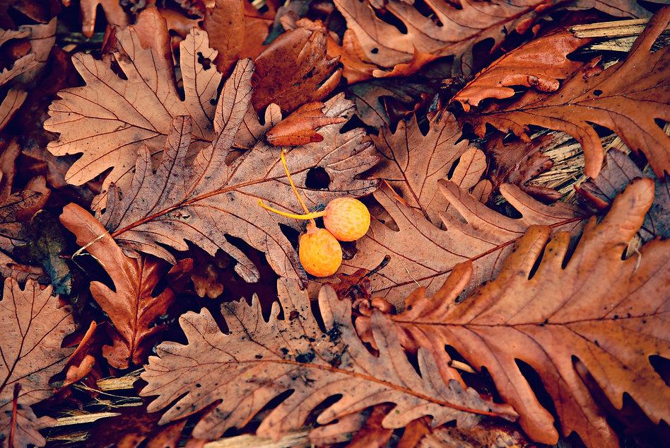 oak-leaf-3789913.jpg