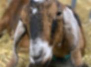 goat%20deer%20run%20farms%20pic_edited.j
