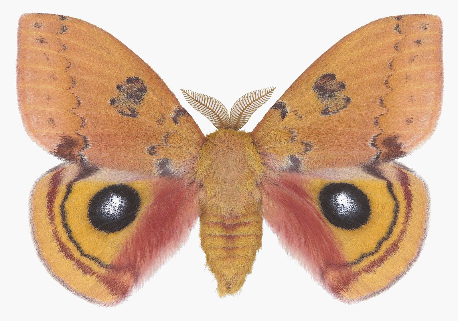 Automeris Brenneri Male