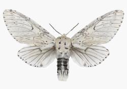 Cerura Erminea Candida
