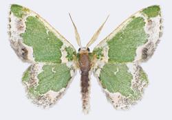 Lophochorista lesteraria