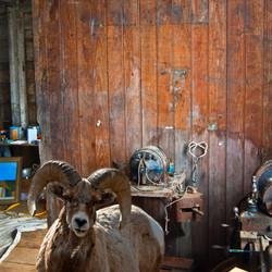 Studio Sheep