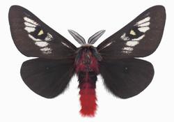 Hemileuca Juno