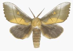 Euhampsonia Splendida