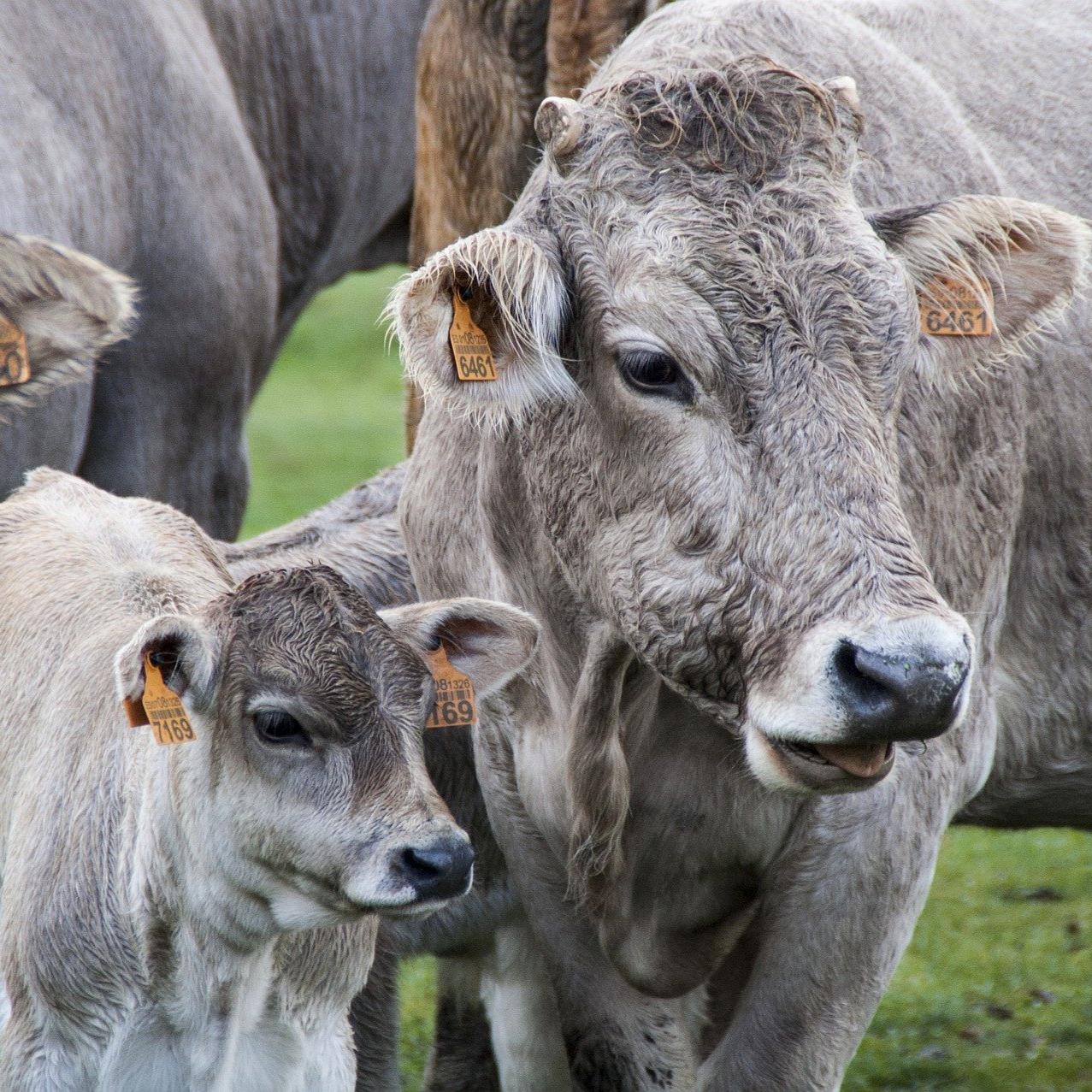cow-5177251_1920_edited