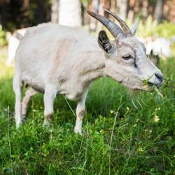 white-goat-eating-grass-1228438_edited