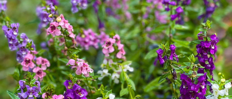 Angelonia 'Summer Snapdragons' Perennial Flower