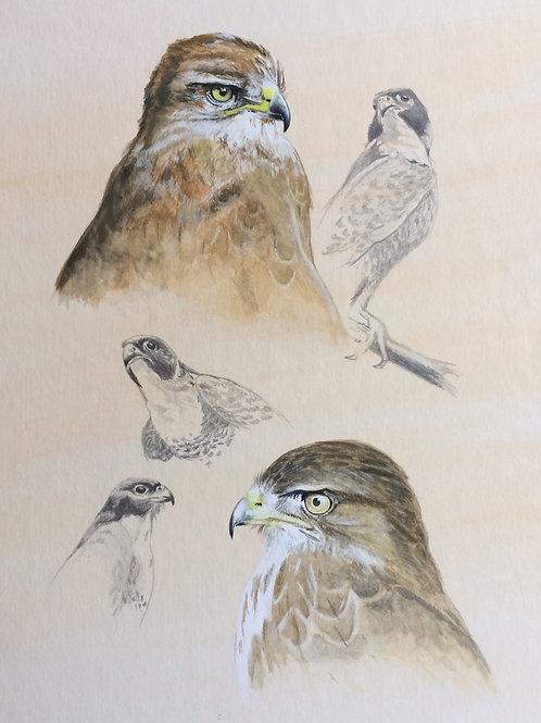Un-framed Original Gouache Painting and Pencil Sketches Falcon