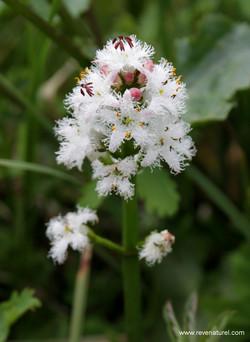 Menyanthes trifoliata 2.JPG