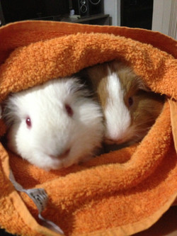 Pampered Guinea Pigs