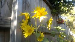 More sunflower.