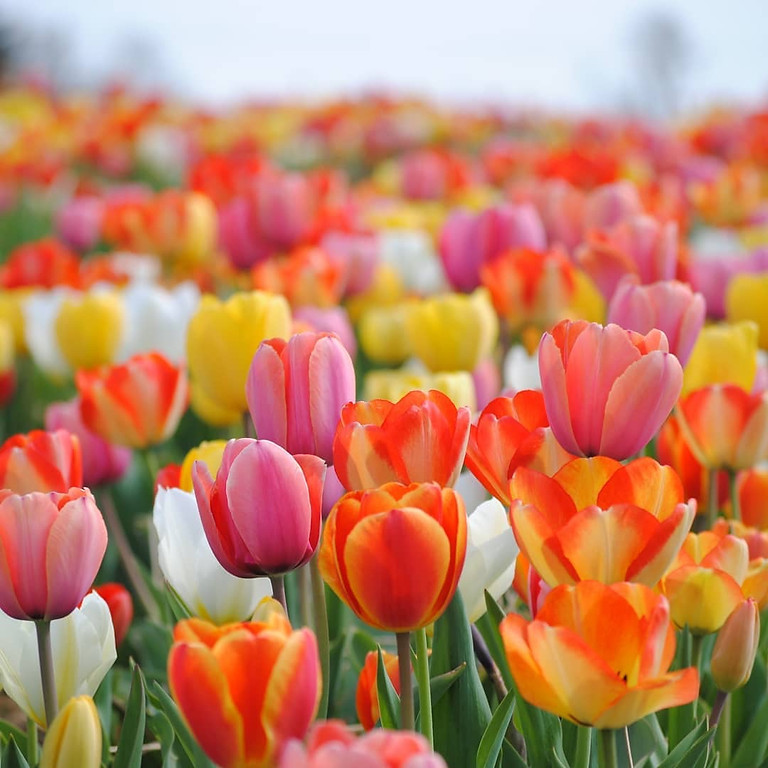 Live-Streamed Yoga from the Tulip + Daffodil Fields