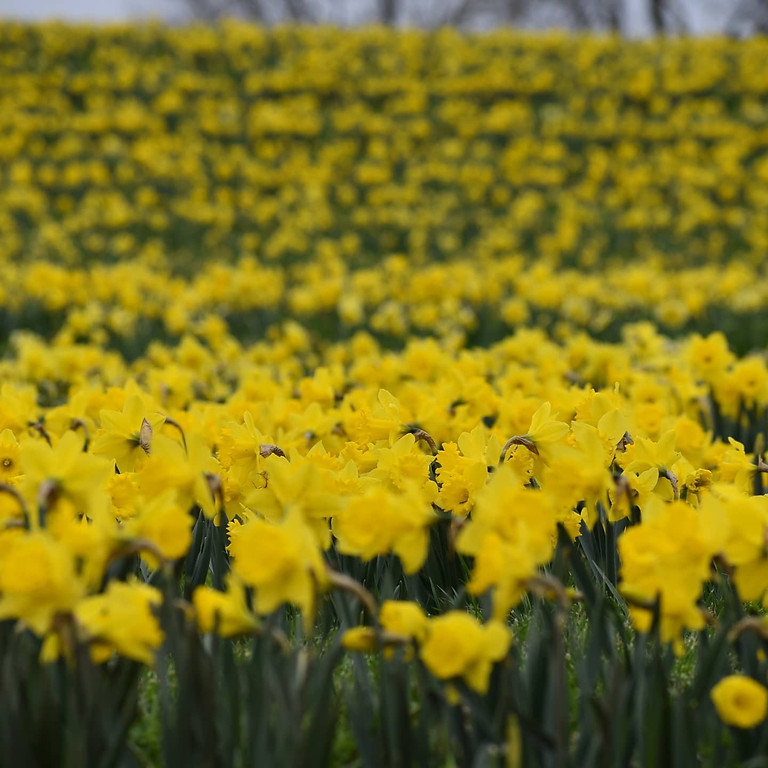 Live-Streamed Yoga from the Tulips + Daffodils