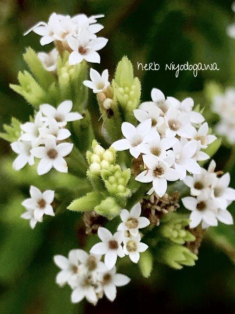 ステビアのお花