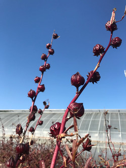 hibiscus roselle