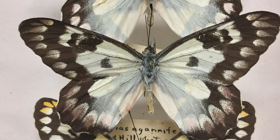 Small Talk Tuesdays: Quelch Lepidoptera Collection
